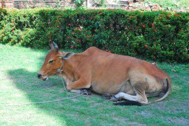Cow at Ayutthaya