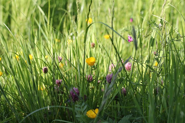 Buttercups in the meadow_Rosalilium