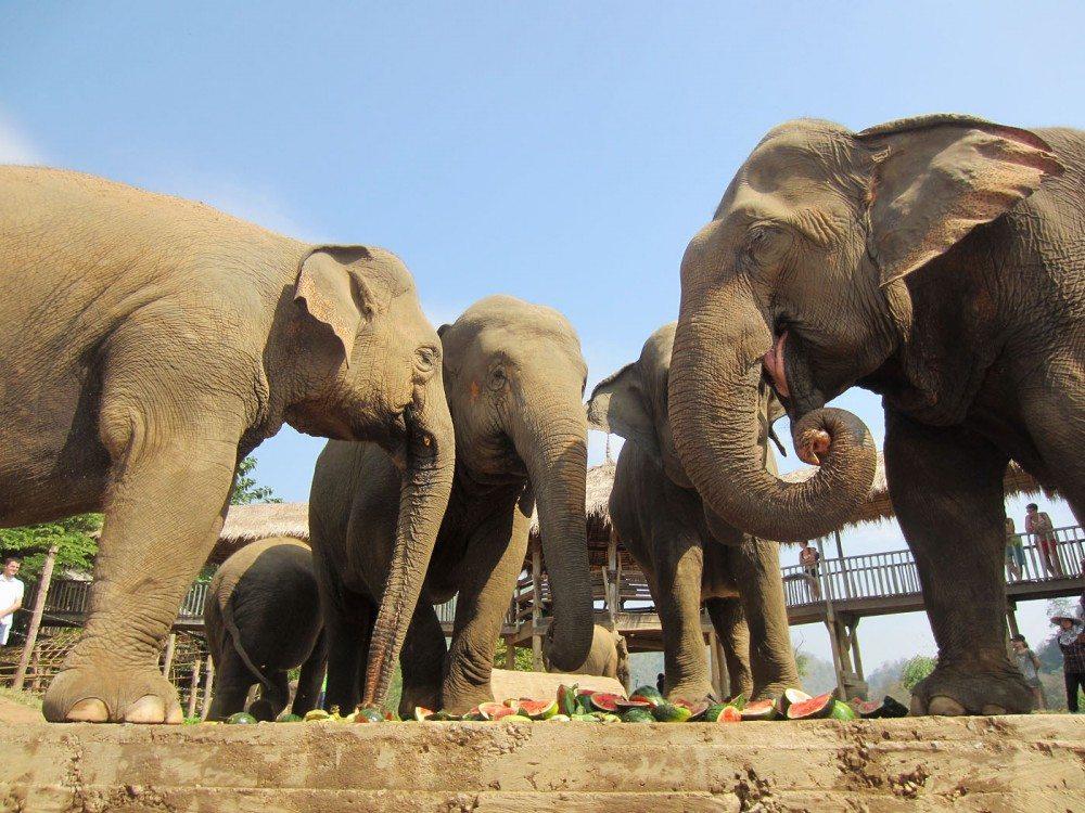 Elephants-Eating-Fruit