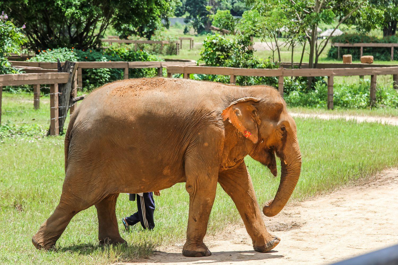 Old Lady Elephant