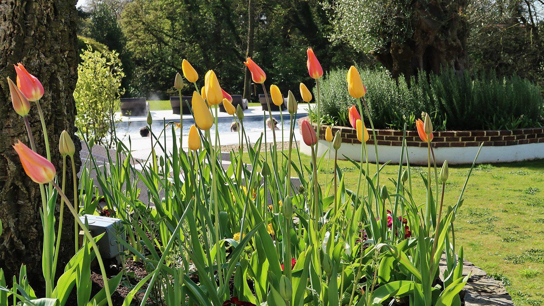 Tulips in bloom Galgorm