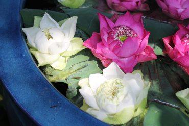 lotus thailand